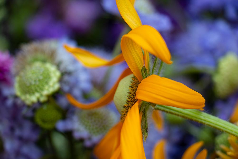 Rudbeckia-flowers-01 10.30.14