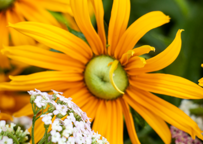 Rudbeckia-flowers-02 10.30.14