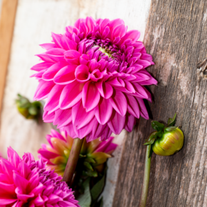 Wimbee Creek Farm grows dahlias in a wide variety of colors