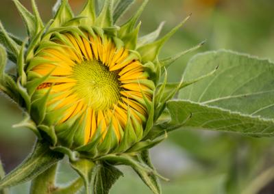 sunflower-opening-06.22.21